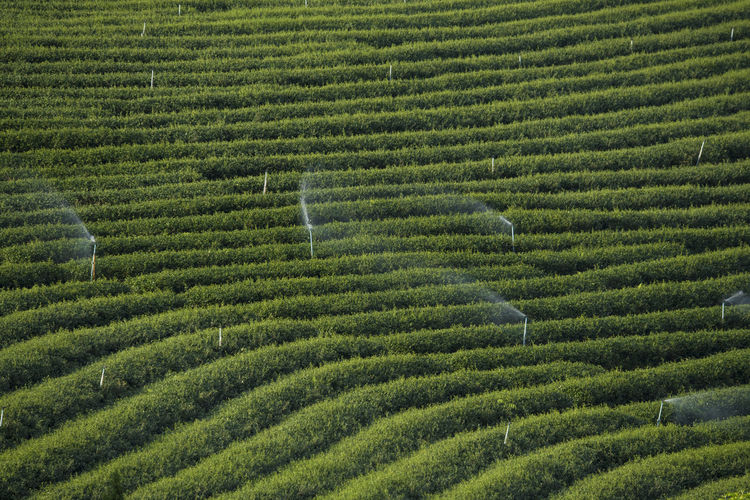Agriculture Beauty In Nature Day Field Freshness Green Color Green Tea Growth Landscape Maze Mountain Nature No People Outdoors Plant Rural Scene Scenics Tea Crop Terraced Field Tree