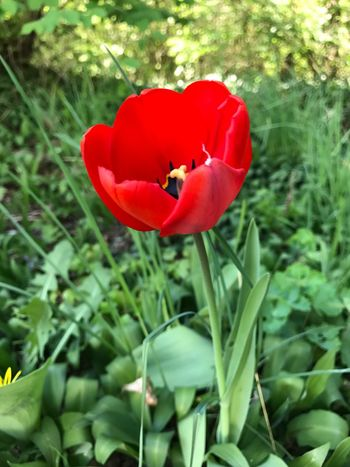 Flower Red Growth Nature Petal Plant Beauty In Nature Freshness Tulip Blooming Fragility Close-up Outdoors No People Field Day Beauty Spring Poppy