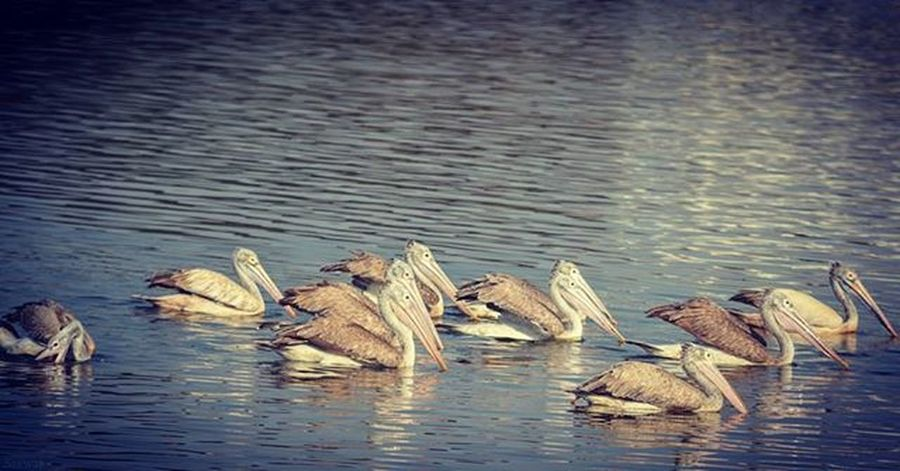 Nature Naturelovers Birds Birdphotography Ig_nature Ig_naturelovers Pelican Pelicans Madivalalake Reflection Vscocam VSCO Nikonindiaofficial Nikon Ig_captures Blue Ig_bangalore Prey Fish