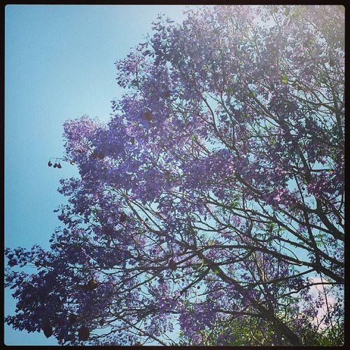 A certain kind of purple. Jacaranda Huntervalleygardens Trees