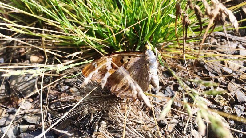 My papillion... Papillon Nature One Animal Outdoors Close-up Papillion Papillon Butterfly Papillion