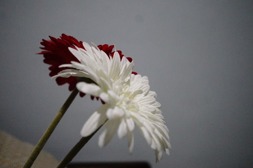 Couple EyeEm Selects Flower Fragility Petal Flower Head Beauty In Nature White Color Blossom Studio Shot Close-up Blooming