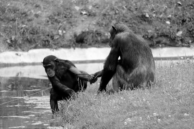 Chimpanzees at lakeshore in zoo