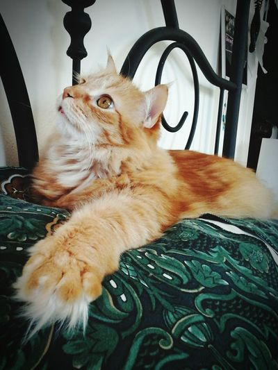 Tigger my handsome ginger maine coon ..💛💚💛😍😻 Taking Photos Relaxing Check This Out Hello World Cheese! Loveallanimals Paws And Purrs Beautiful Creatures Catstarcat Catlovers Catsofeyeem Hayward, Ca. Animals Fluffy Animal Photography Taking Photos Catsoftheworld ❤️🔥❤️ Gingercatsofinstagram Pawsome Cat Eyes Gingercatsrule Gingerkitty . 43 Golden Moments Hayward Ca