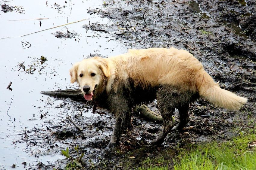 Animal Canine Cute Day Dirty Dirty Dog Dirty Dogs Dog Dog Love Golden Retriever Grass Mammal Nature No People Outdoors Pet Collar Pets Portrait