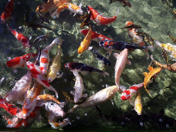 Water Close-up Swimming Animal Themes Outdoors Ornamental Fish S4 EyeEmNewHere Neon Life Investing In Quality Of Life Perspectives On Nature