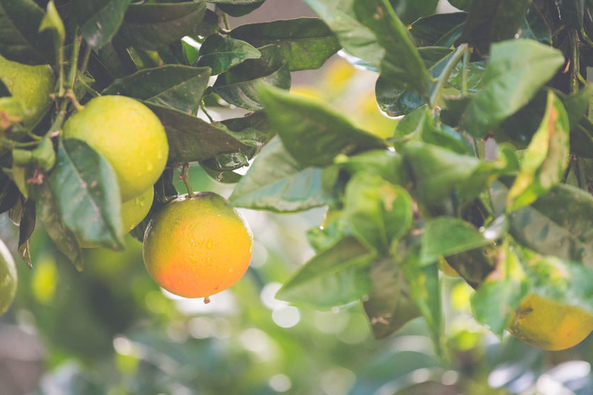 Leaf Food And Drink Food Fruit Plant Part Healthy Eating Growth Plant Freshness Citrus Fruit Tree Fruit Tree Close-up No People Nature Green Color Day Orange Color Orange Wellbeing Outdoors Organic Ripe Plantation