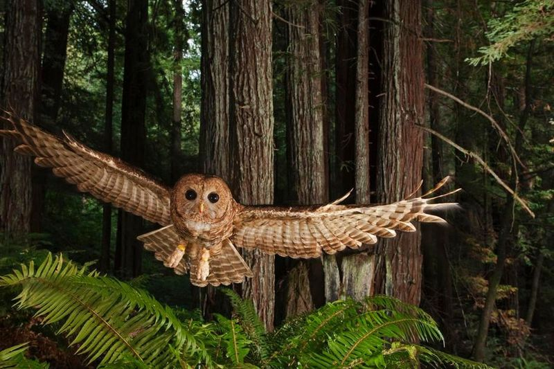 Owl Wings Tree Nature Animals In The Wild Spread Wings Outdoors Fly Wing Mid-air Timing Perfect Amazing Beauty In Nature Air Magestic Bird