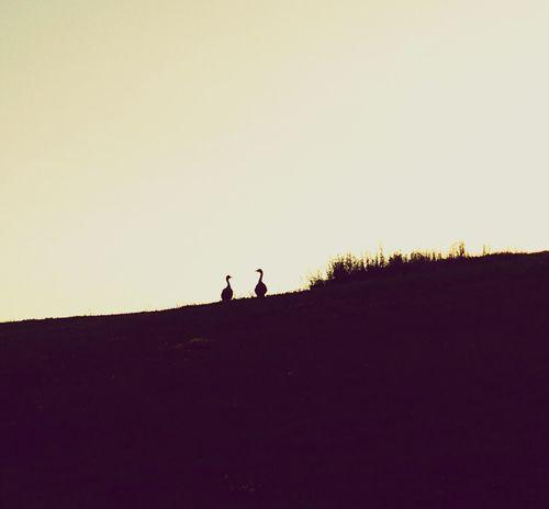 #couple Gooses Evening Evening Light EyeEm Nature Lover Following Uphill Horizon Over Land