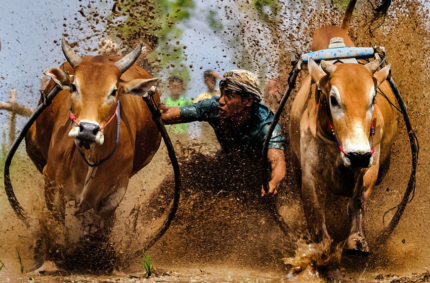 bull race is a hereditary tradition carried out post-season rice crop Bull Race Cultures Destination INDONESIA Pacu Jawi Tradition Traditional Culture Traditional Sport