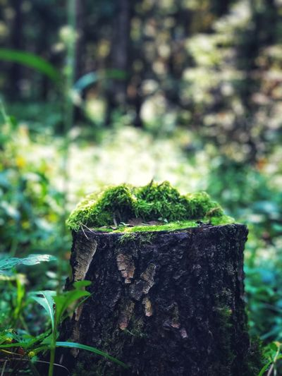 Moss on the stump of an old tree in the forest Scenics Mossy Moss Plant Growth Focus On Foreground Moss Green Color Nature Tree Close-up No People Day Tree Stump Outdoors Tree Trunk Plant Part Trunk Leaf Forest Textured  Beauty In Nature Bark