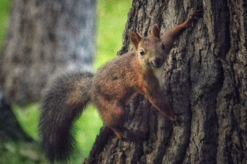 公園栗鼠シリーズ Tree Trunk Tree One Animal Animals In The Wild Wildlife Animal Themes Focus On Foreground Squirrel Side View Close-up Bark Branch Brown Zoology Selective Focus Herbivorous Nature Outdoors Growth Day EyeEm Best Shots EyeEm Nature Lover Eye4photography  Nature