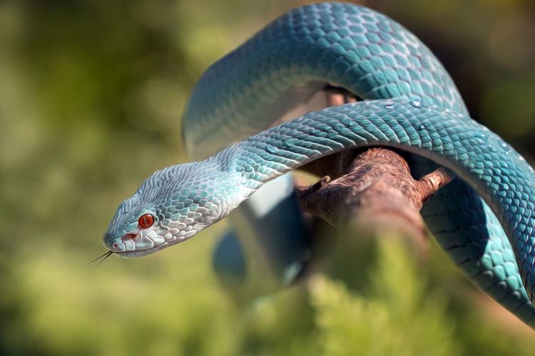 Close-up of a viper snake