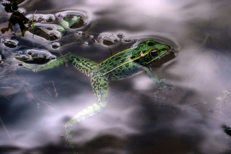 High Angle View Of Frog In Pond