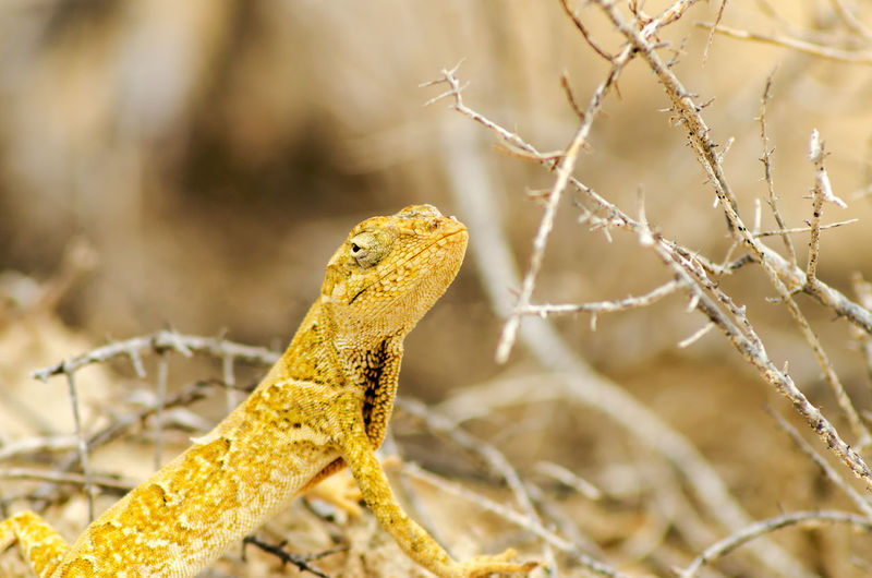 Closeup view of a small yellow lizard in La Guajira, Colombia America Animal Anole Anolis Colombia Desert Fauna Fauna And Flora Iguana La Guajira La Guajira Colombia Lizard Many Nature Norops Polylepis Reptile Scaled Tropical Wild Wildlife Yellow