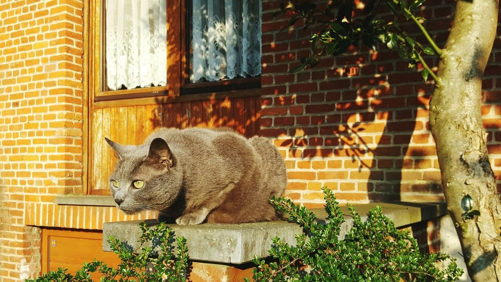 One Animal Plant Animal Themes No People Mammal Nature Building Exterior Day Outdoors Architecture Pets Domestic Animals Grey Cat Hunt Hunting Green Eyes Brick Wall Alertness Feline Sunny Day Golden Hour Alert Cat