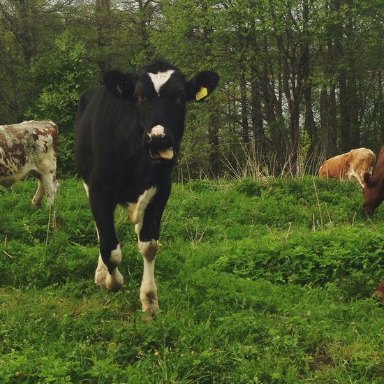 Cows Green Countryside Country Country Life Countryhouse Forest Animals