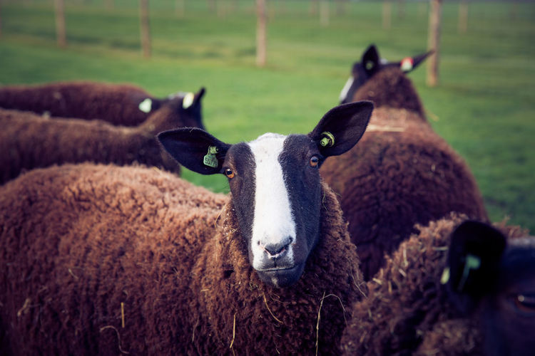 Close-up of brown sheep in the herd in the field Farm Farm Life Farmland Looking At Camera Animal Themes Care Farms Close-up Day Domestic Animals Domesticated Animal Tag Field Livestock Mammal Nature No People Outdoors Portrait Sheep Sheep Farm Sheep In Field Sheeps Sheepskin Spring Springtime