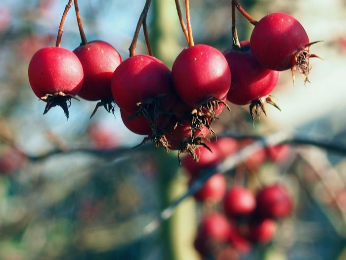 Tree Tree Red Berry Health Autumn Nature Nature_collection Nature Photography Naturelovers Nature On Your Doorstep Tree Winter Fruit Red Hanging Closing Close-up Food And Drink Twig Apple Tree Fruit Tree Berry Fruit
