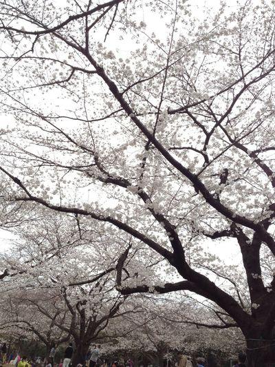 Flower Park Sakura