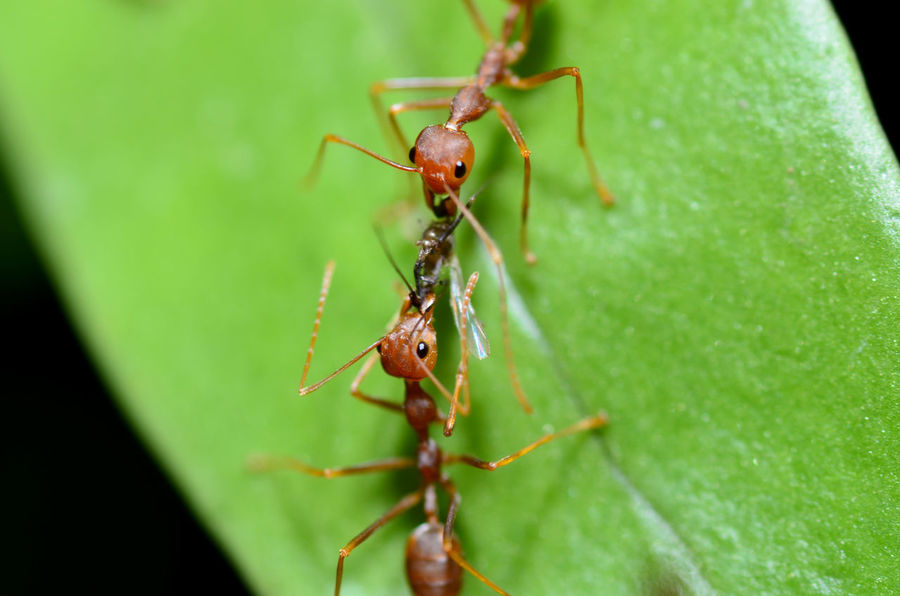 teamwork of an ants Insecta Red Solenopsis Teamwork Animal Themes Animal Wildlife Animals In The Wild Ant Arthropoda Close-up Communication Concept Cooperation Day Formicidae Green Color Hardwork Insect Leaf Macro Nature No People Outdoors Togetherness