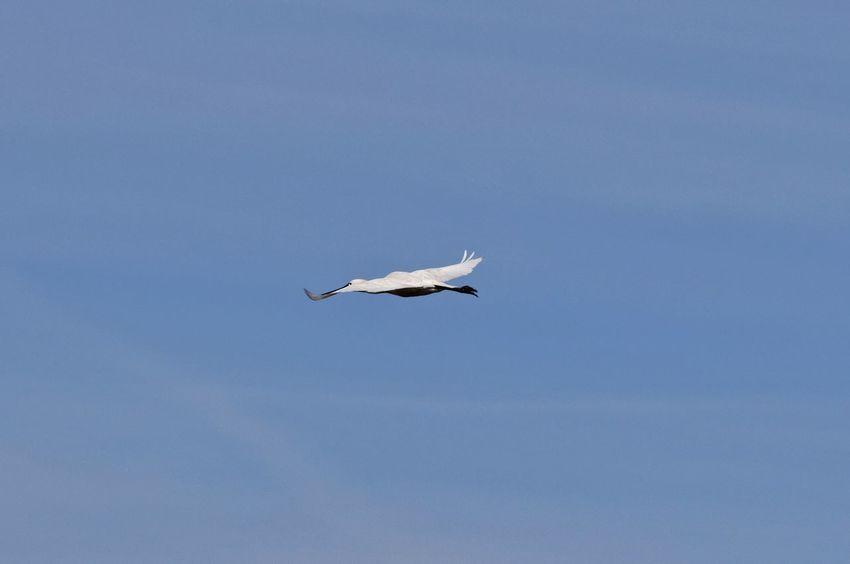 Birds In Flight Spoonbill i think.. Lepelaar Spring2015 Just Looking Up... Dutch Landscape