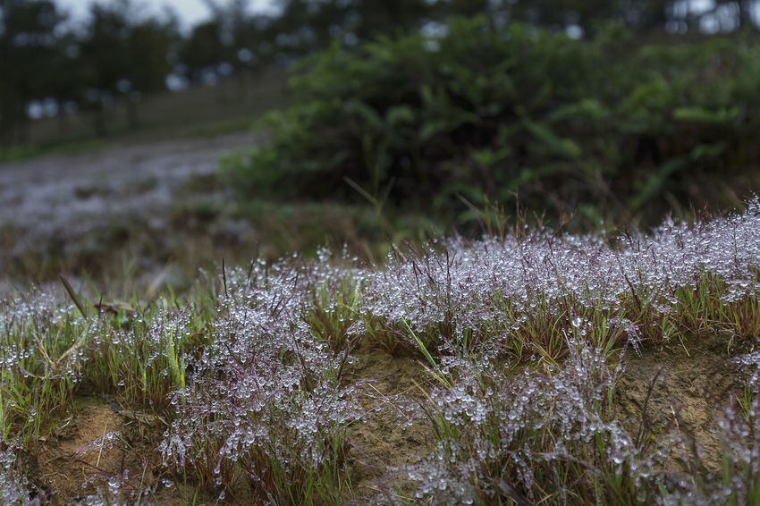 The colorful droplets in the grass after the rain. Viet Nam Beautiful Freshness Abstract Backgrounds Closeup Colorful Condensation Dew Drop Droplets Environment Fields Fog Fresh Glade Grass Growth Meadow Morning Moss Nature Pine Forest Pink Grass  Summer Sunrise