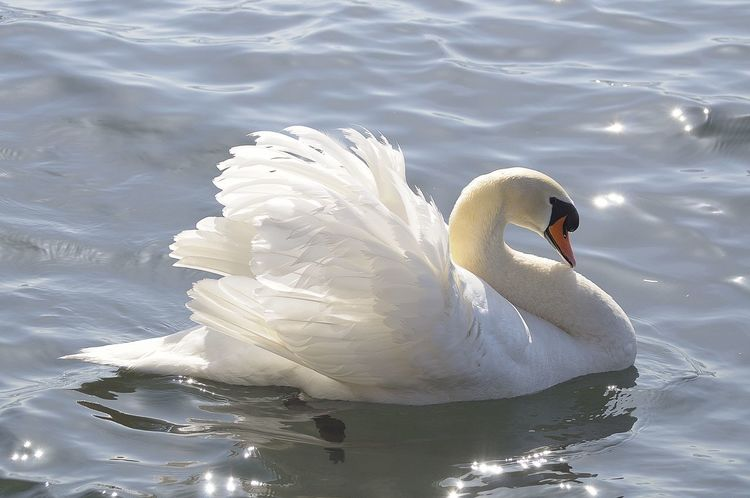 Animal Themes Animal Wildlife Animals In The Wild Beak Bird Close-up Day Lake Nature No People One Animal Outdoors Swan Swimming Water Water Bird Waterfront White Color