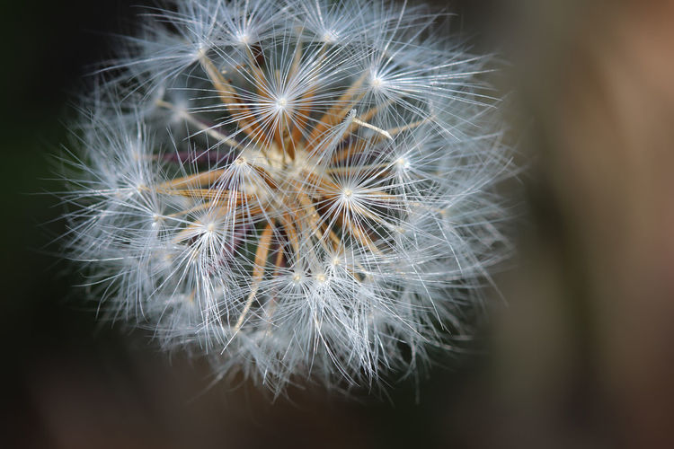 The Wish Wisconsin Beauty In Nature Close-up Dandelion Dandelion Seed Day Flower Flower Head Fragility Freshness Growth Nature No People Outdoors Plant Softness