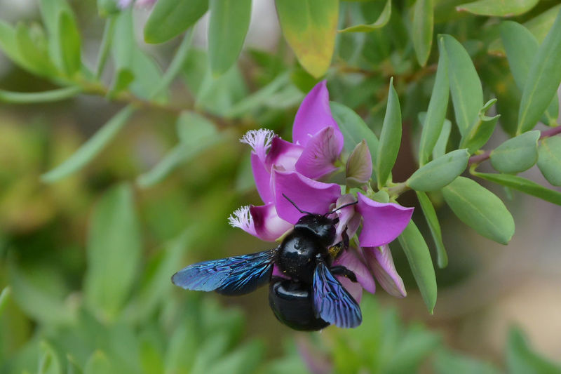 Animal Animal Themes Animal Wildlife Animals In The Wild Beauty In Nature Black Bee Blue Close-up Flower Head Flowering Plant Fragility Freshness Insect Nature One Animal Petal Plant Purple