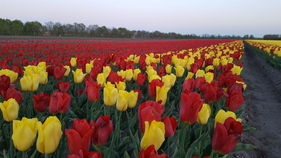 Multi colored tulips in field against sky