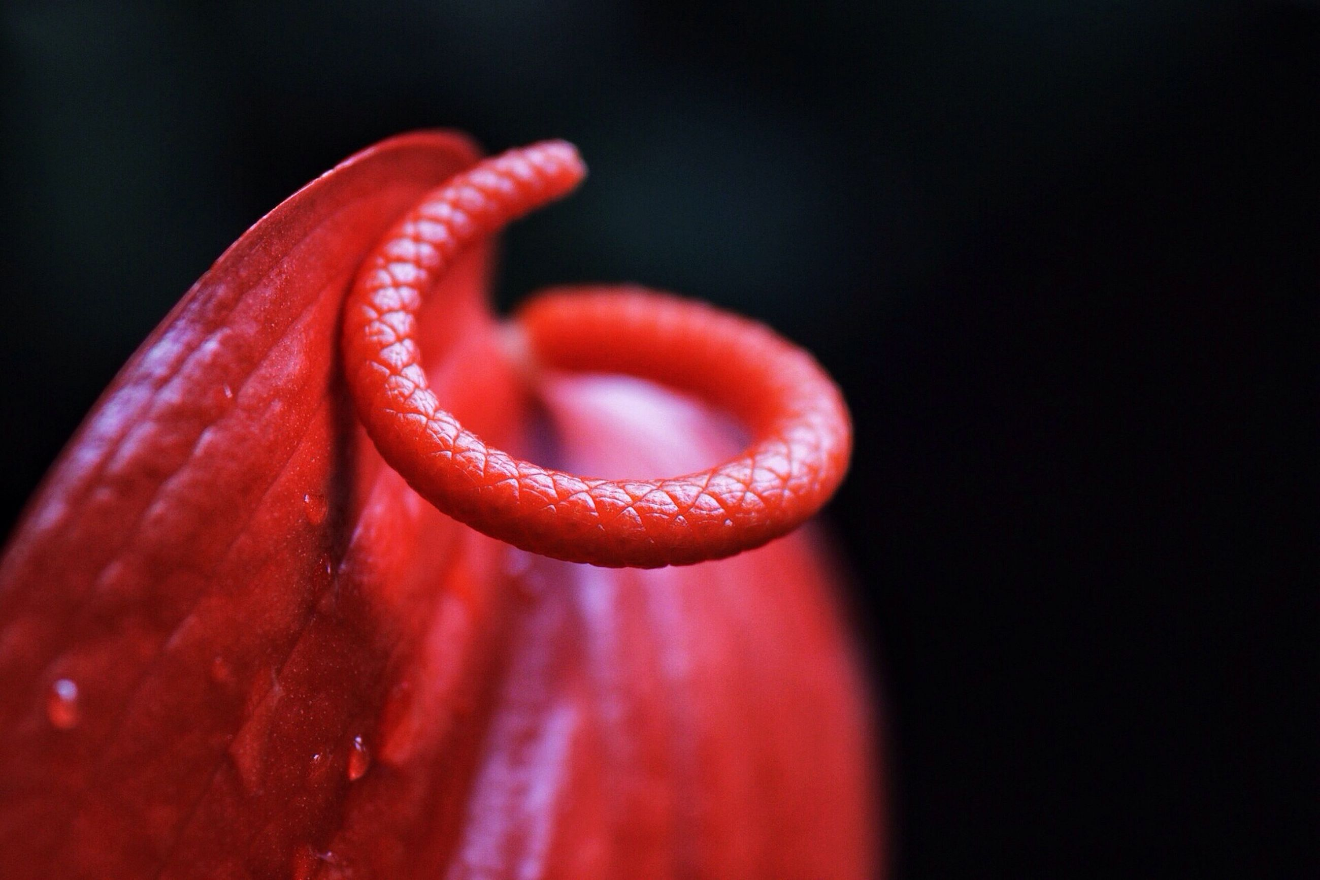 red, close-up, freshness, black background, studio shot, fragility, beauty in nature, drop, nature, selective focus, single object, macro, focus on foreground, flower, detail, no people, growth, petal, vibrant color, single flower