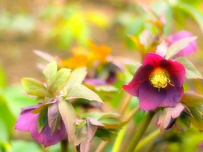 Showcase March Flowers Spring Fleshyplants Takumar Bokeheffect Bokeh EyeEm Nature Lover 春 クリスマスローズ