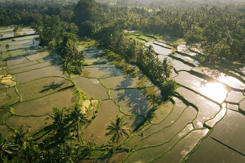 Aerial view of terraced rice field by palm trees