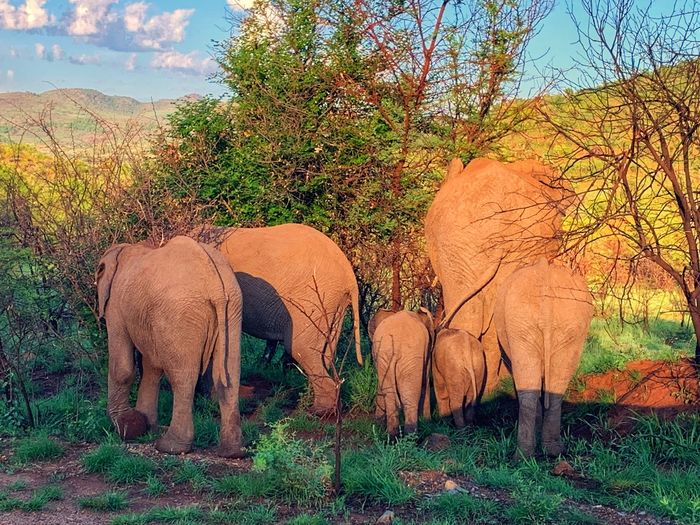 African Elephant herd African Elephant Animal Themes Group Of Animals Animal Mammal Elephant Plant Animals In The Wild Animal Wildlife No People Sunlight Outdoors
