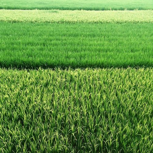Agriculture Backgrounds Beauty In Nature Cereal Plant Crop  Day Field Freshness Grass Green Color Growth Landscape Nature No People Outdoors Rice Paddy Rural Scene Scenics Soccer Field Tranquility Wheat