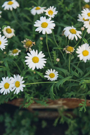 Daisies. Daisy Daisy Flower Beauty In Nature Blooming Daisy Flower Flower Head Fragility Growth Nature No People Outdoors Petal