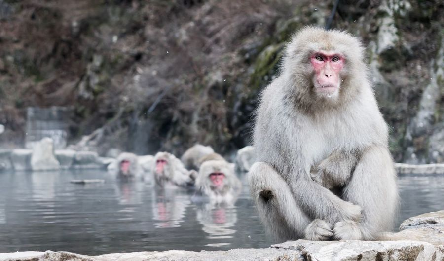 Animal Themes Japanese Macaque Animals In The Wild Mammal Monkey Animal Wildlife Nature Day No People Cold Temperature Outdoors some snow monkeys just chilling