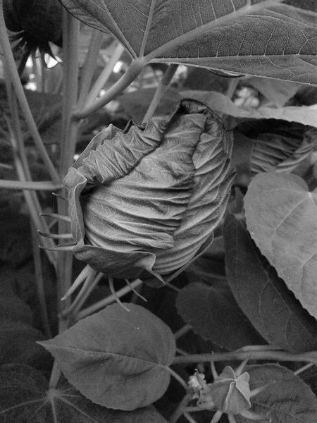 Monochrome Photography Hibiscus Bud. Close-up Creativity Black And White Photography Growth Nature Hibiscus 🌺 Hibiscus Close-up Beauty In Nature