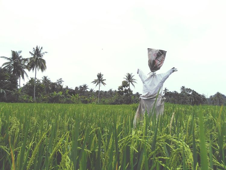 Sawah Sawah Padi Sawahpadi Rice Field Petani Farm Farming Peasant INDONESIA Sumut