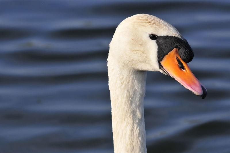 Swan in