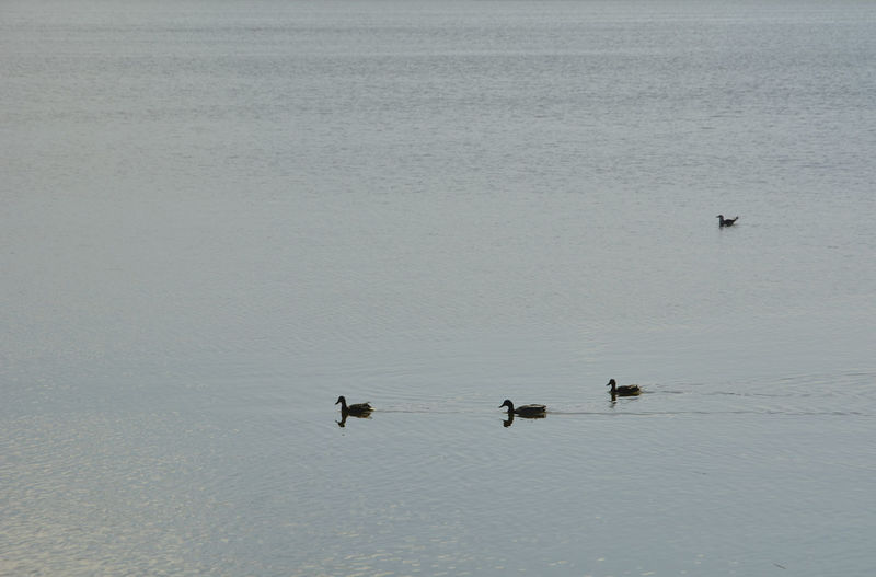 Family of ducks on the lake before sunset. colors of nature