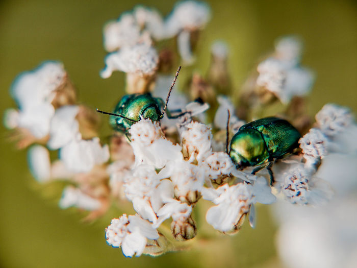 Close-up of june beetles on white flowers