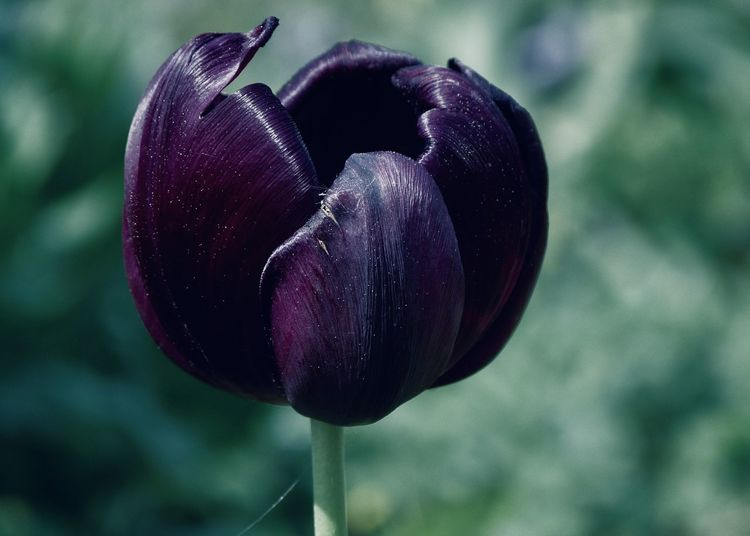 Close-up of purple tulip