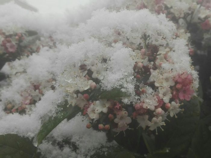 flower snowball Flake Snow Snowing Winter In The City Snowing In The City Pinch Of Pink Pink Color Winter Winter Wonderland Delicate Nature No People Growth Outdoors Day Beauty In Nature Close-up Flower
