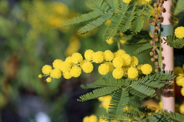 branch of yellow mimosa in bloom symbol of women's day 8th March Love Lovers Mimosa Flowers Paris Blossom Blossoming  Festa Della Donna Festa Della Mamma Festa Delle Donne Flower Flowers In Love March Mimosa Mimosa Tree Mimosas Otto Marzo Spring Springtime Yellow