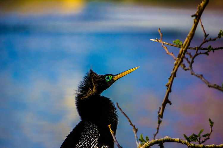 Water Turkey Anhinga Water Bird Wild Animal Wild Bird Water Front  Lake Florida Bird Animal Wildlife Animal Animal Themes Animals In The Wild One Animal Vertebrate Plant Tree Nature No People Day Focus On Foreground