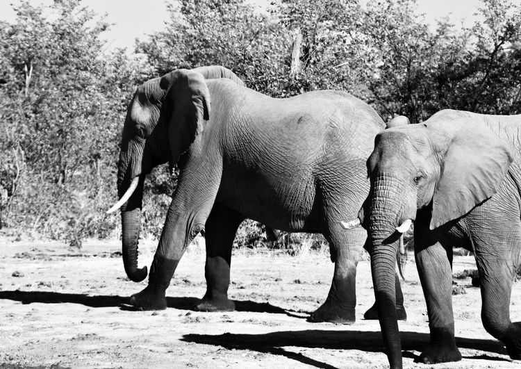 Elephant African Elephants African Wildlife Travel Experience African Animals Safari Animals Wild Animal Travel Africa Black And White Elephant Animal Themes Animal Animal Wildlife Mammal Animals In The Wild Herbivorous