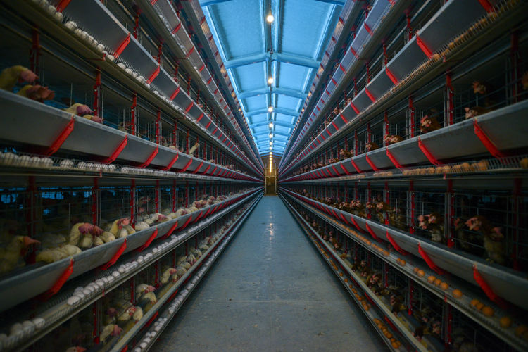 Illuminated eggs factory