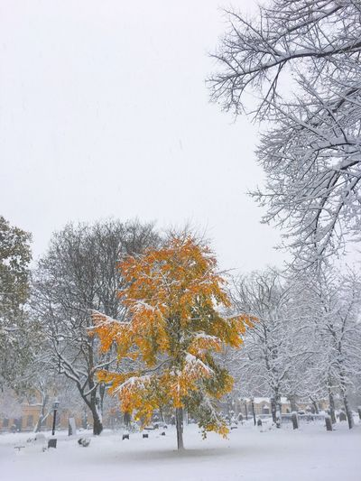 First snow. Tree Winter Snow Cold Temperature Nature Weather Bare Tree Growth Change Beauty In Nature Branch Tranquility No People Autumn Scenics Outdoors Day Snowing Sky